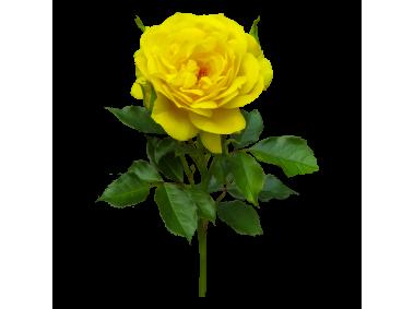 Yellow Rose